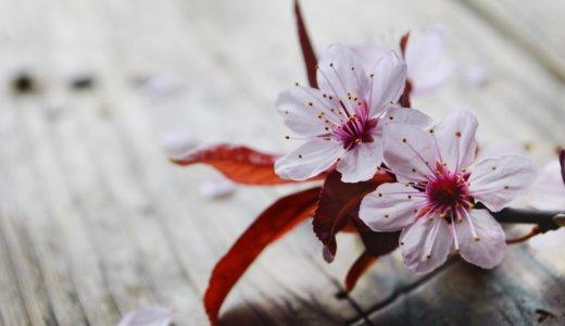 【たった1分英語学習】「桜を見る会」を英語で言うと?
