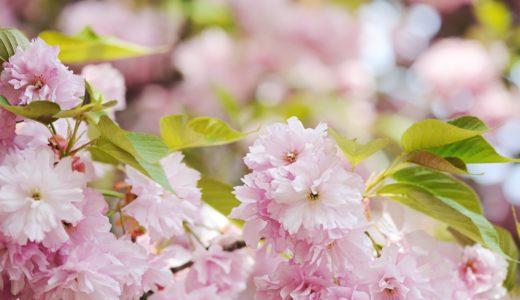 【たった1分英語学習】山梨県で見られる桜と富士山